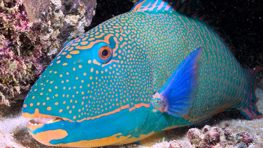 Animals-Parrot-Fish