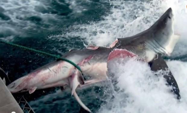 Caso semelhante ocorreu também na Austrália em 2009, quando tubarão foi achado com marcas de mordida impressionantes, vindas de outro tubarão com cerca de 6m de comprimento (Foto: Reprodução/YouTube/Everything Best)